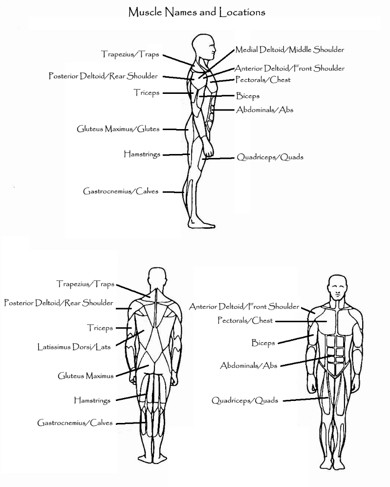 Muscles & Exercises | Mister Donovan